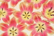 Yellow and Coral Red Tulips
