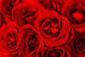 Red Roses in Bloom