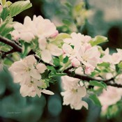 Apple Blossoms I