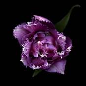 Fringed Pink Tulip