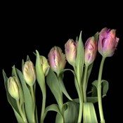 Parrot Tulips 3