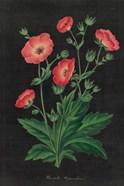 Botanical on Black Chart XII