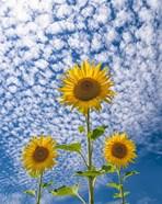 Sunflower Triad