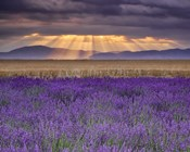Sunbeams over Lavender