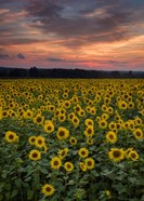 Sunflowers to the Sky
