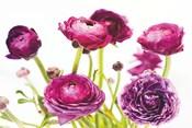 Spring Ranunculus III