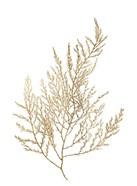 Gold Foil Algae II - Metallic Foil