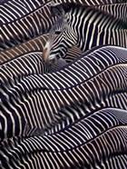 Zebras in Samburu National Reserve, Kenya