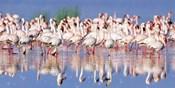 Lesser Flamingo, Lake Nakuru, Kenya