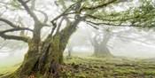 Laurel Forest in Fog, Madeira, Portugal