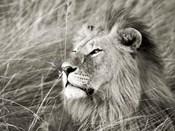 African Lion, Masai Mara, Kenya 1