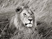 African Lion, Masai Mara, Kenya 2