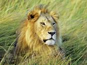 African Lion, Masai Mara, Kenya