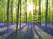 Beech Forest With Bluebells, Belgium