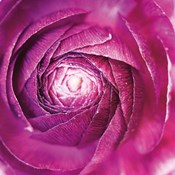 Ranunculus Abstract I Color