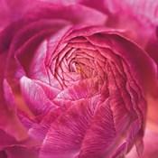 Ranunculus Abstract II Color
