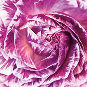Ranunculus Abstract IV Color