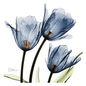 New Blue Tulips C54