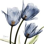 New Blue Tulips C54