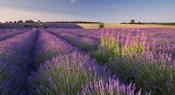 Fields of Lavander
