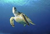 Hawksbill sea turtle ascending, Nassau, The Bahamas