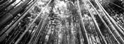 Low angle view of bamboo trees, Arashiyama, Kyoto, Japan