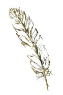 Gilded Turkey Feather II