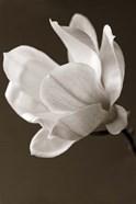 Sepia Magnolia