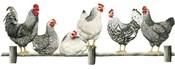 Hens, White Background