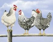 Three Black & White Hens