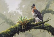 Ornate Hawk - Eagle