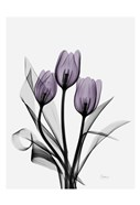 Three Purple Tulips H14