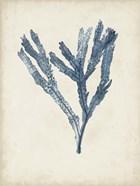 Seaweed Specimens I