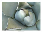 Agave Detail III