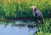 Great Blue Heron in Taylor Slough, Everglades, Florida