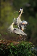 Great Blue Herons in Courtship Display