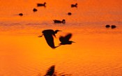 Great Blue Herons Flying at Sunset
