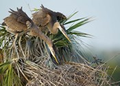 Great Blue Heron chicks in nest looking for bugs, Florida