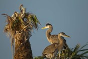 Great Blue Heron bird, Viera wetlands, Florida
