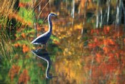 Great Blue Heron in Fall Reflection, Adirondacks, New York