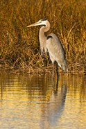 Great Blue Heron standing in Salt Marsh
