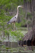 Great Blue Heron bird, Caddo Lake, Texas