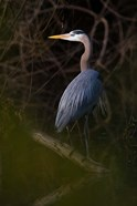 Great Blue Heron roosting, willow trees, Texas
