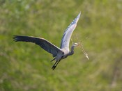 Washington Great Blue Heron flies with branch in its bill