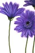 Purple Gerberas 1