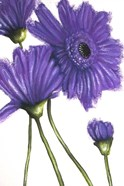 Purple Gerberas 2
