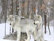 Grey wolves huddle together during a snowstorm, Quebec
