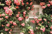 Roses and home, Nantucket Island