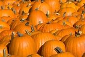 Pumpkins in Concord, New Hampshire