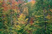Fall in Northern Hardwood Forest, New Hampshire